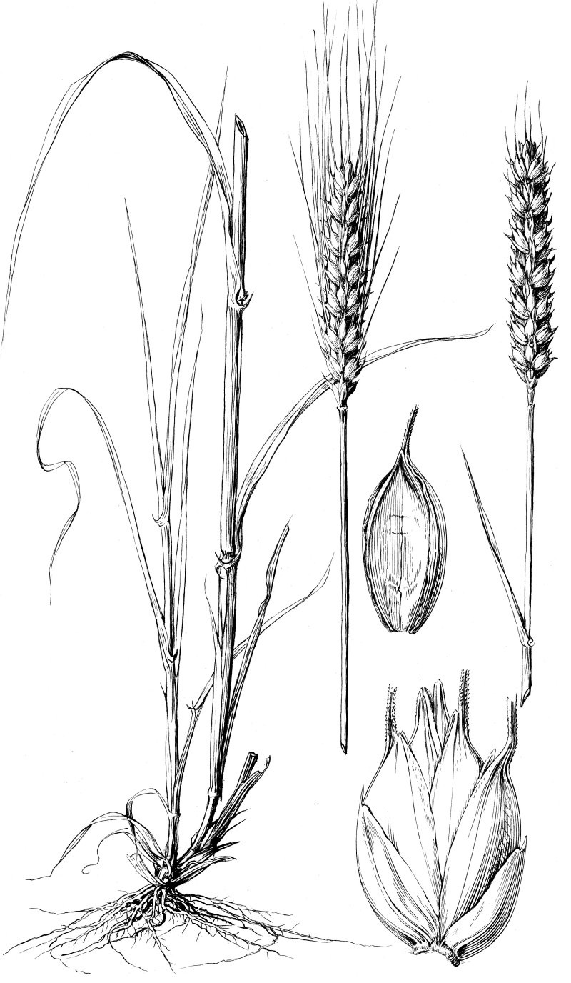 Triticum Aestivum L Wheat Habit Annual Or Winter Annual